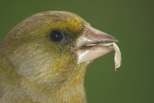 Photo of a greenfinch titi