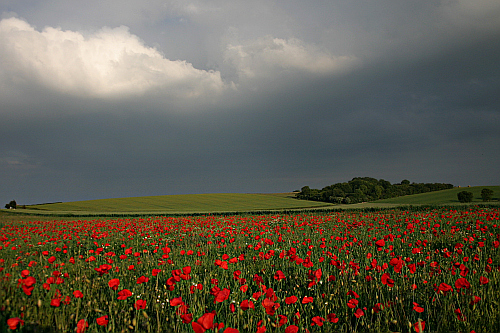 Flowers in the field photograph